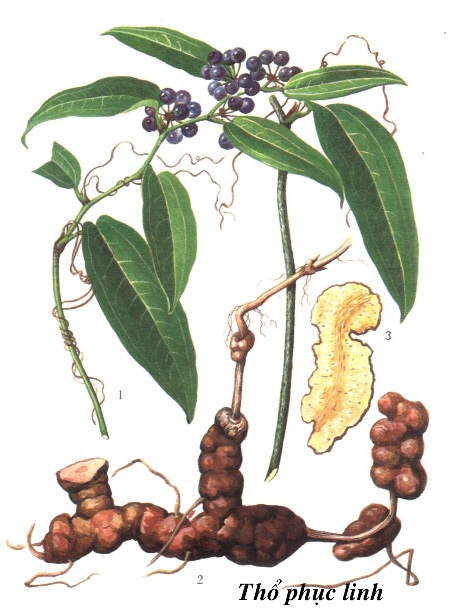 hình ảnh cây thổ phục linh
